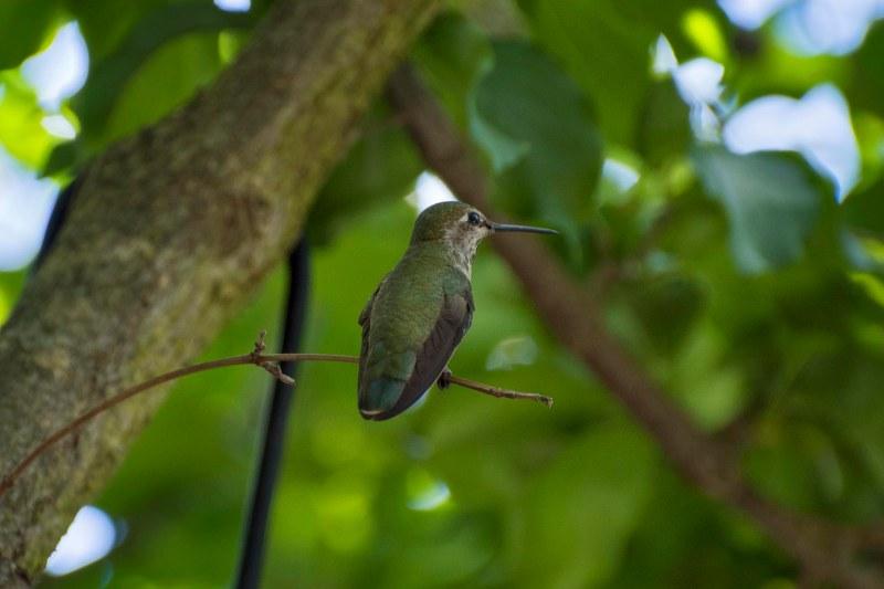 Hummingbird_750_6305