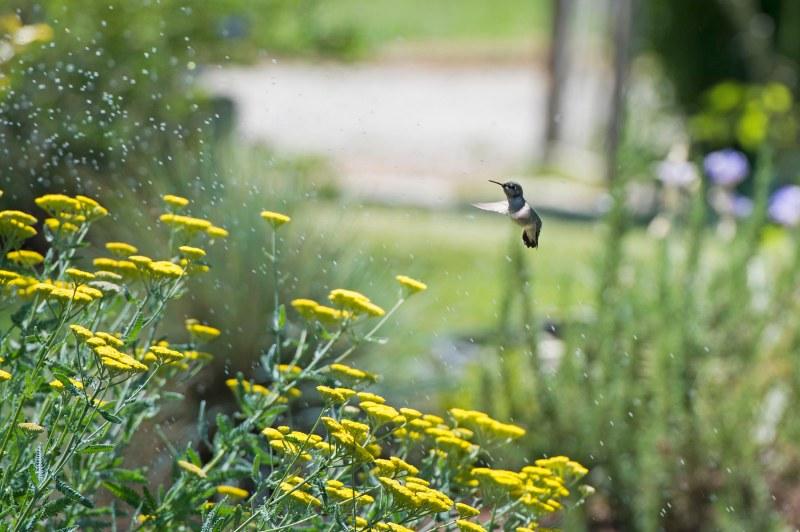 Hummingbird_Sprinkler_DSC_9117