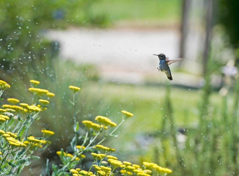Hummingbird_Sprinkler_DSC_9120