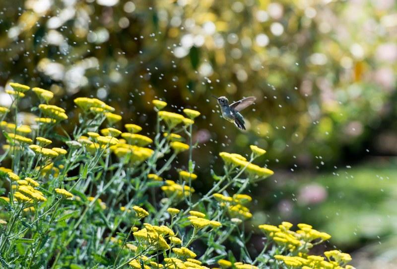 Hummingbird_Sprinkler_DSC_9121
