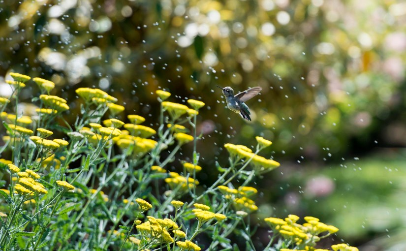 Wordless Wednesday: Splish SplashHummingbird