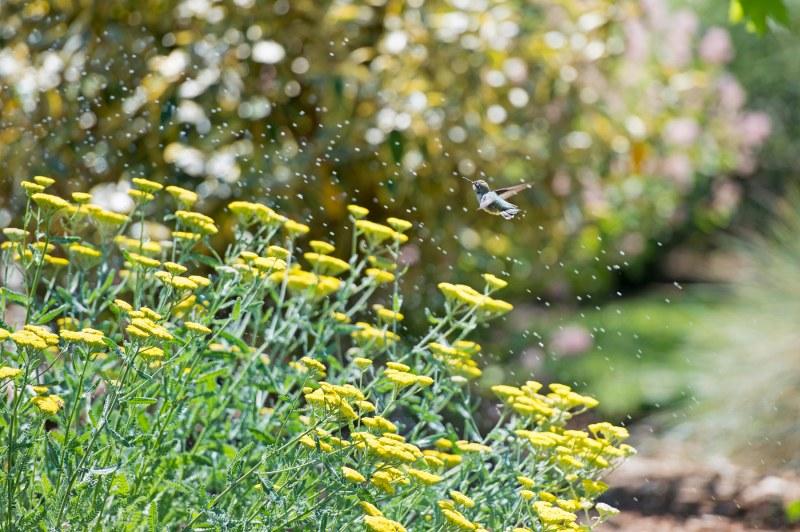 Hummingbird_Sprinkler_DSC_9122
