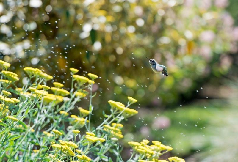 Hummingbird_Sprinkler_DSC_9127