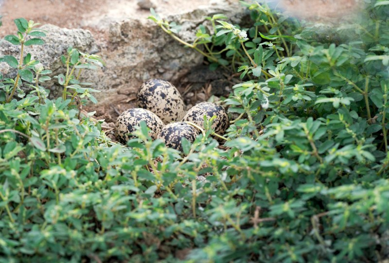 Killdeer Eggs_DSC_0674
