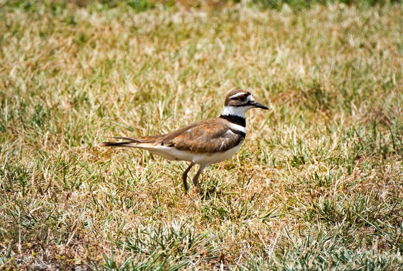 Killdeer_DSC_0699