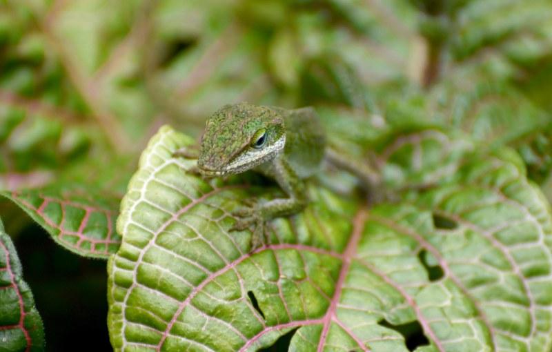 Lizard_750_6606