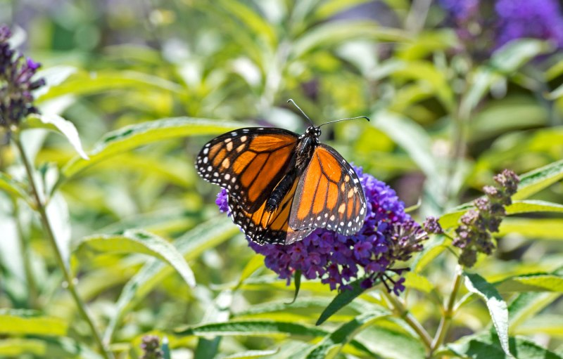 Monarch_DSC_9956