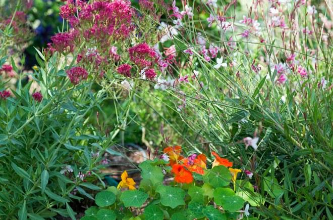 Nasturtium_Butterfly Weed_DSC_9811