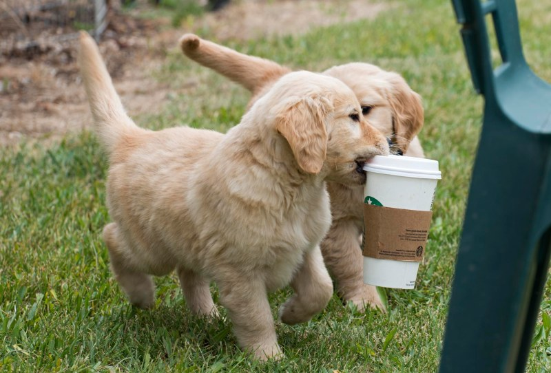 Puppies_Starbucks_7327