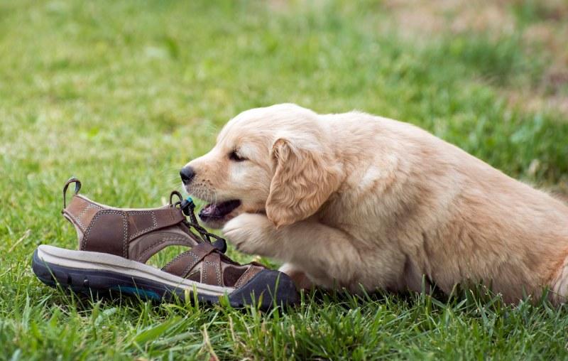 Puppy_Shoe_750_7279