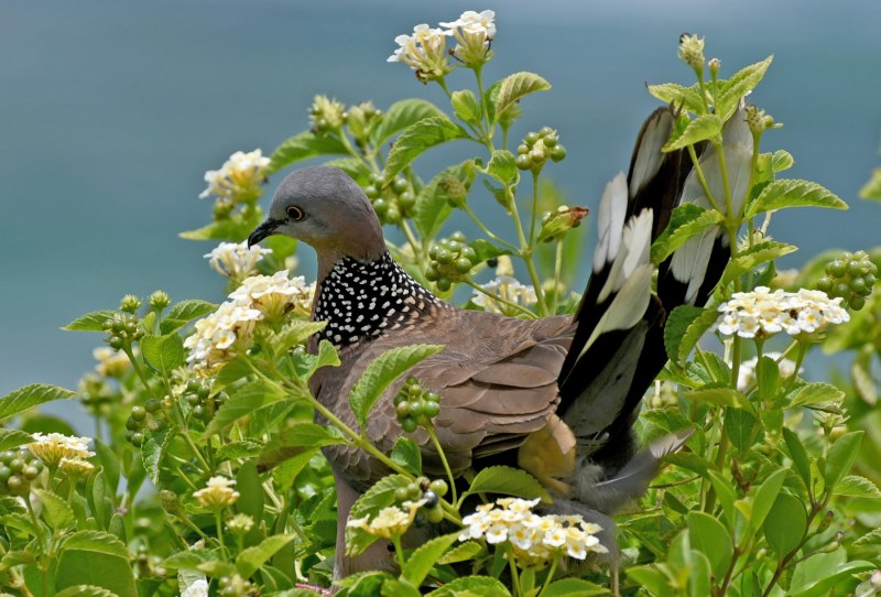 Spotted Dove__750_6991