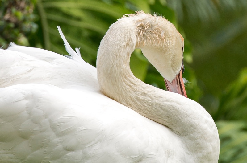 Swan_Kauai_DSC_9306