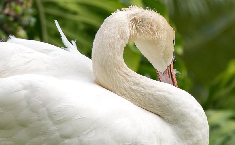Island Swans