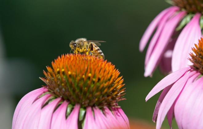 Bee_Macro_DSC_1789