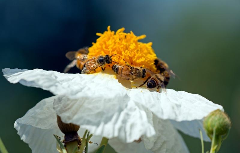 Bees_DSC_9818