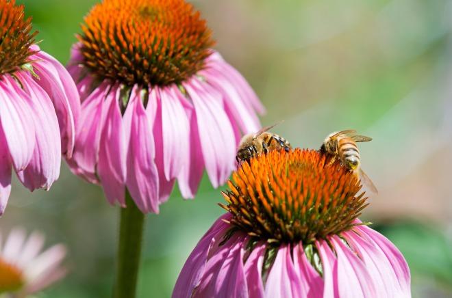 Bees_Macro_DSC_1326