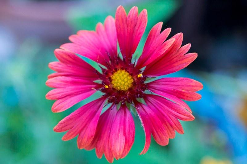 Blanket Flower_DSC_2388