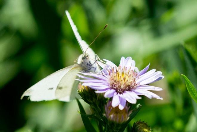 Butterfly_Cabbage_DSC_1887