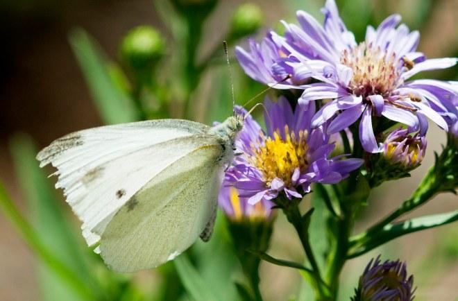 Butterfly_Cabbage_DSC_1889