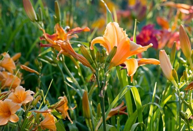 Daylilies_DSC_0426