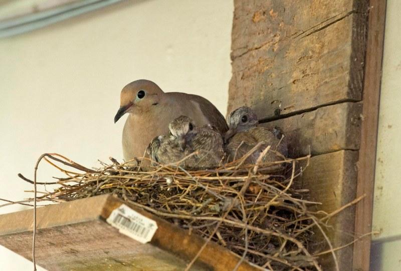 Dove_babies_DSC_1948
