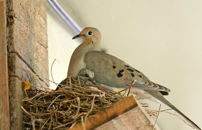 Dove_Baby_Macro_DSC_1709