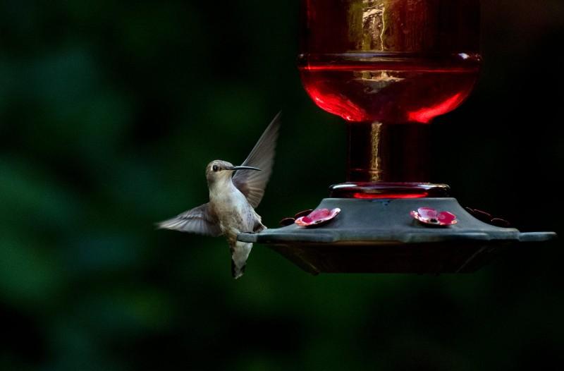 Hummingbird_750_7669