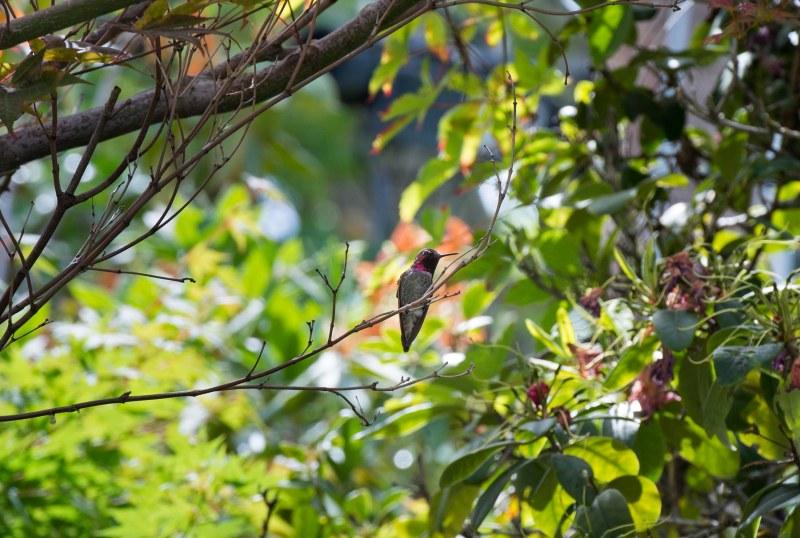 Hummingbird_DSC_0321