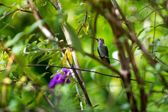 Hummingbird_DSC_0329