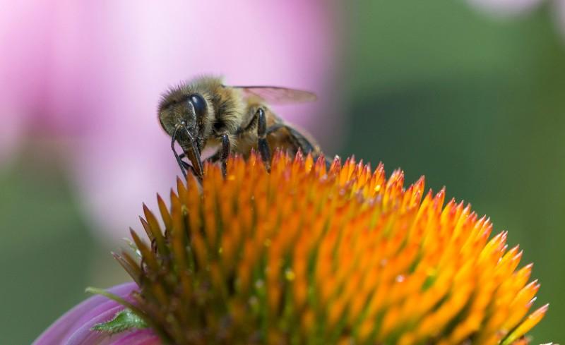 Macro_Bee_DSC_1567