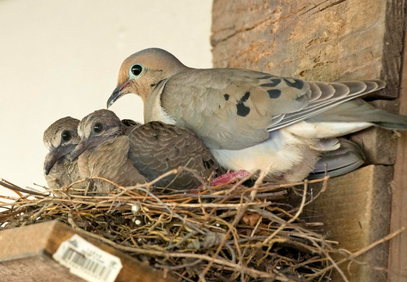 Mourning Dove_Babies_DSC_1955