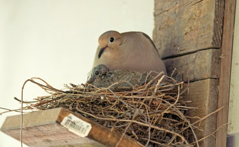 Mourning Dove_Baby_DSC_1669