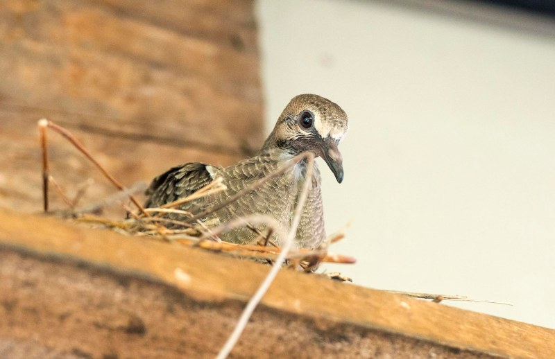 Mourning Dove_Baby_DSC_1961