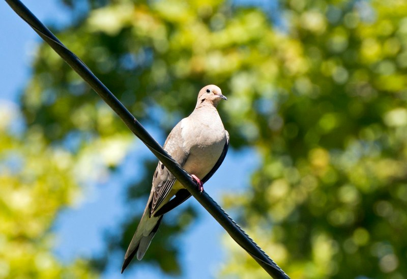 Mourning Dove_DSC_2006