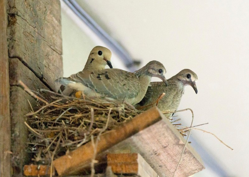 Mourning Doves_last day_DSC_1969
