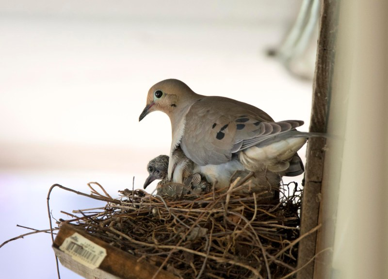 Mourning_Dove_Baby_DSC_1245