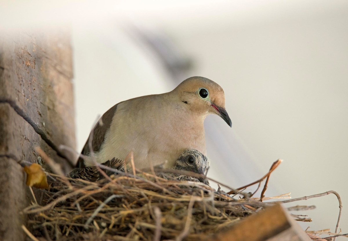 Mourning Doves: Hatched | Gardens For Goldens