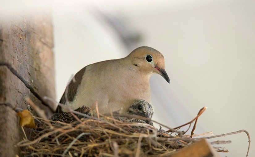 Mourning Doves: Hatched