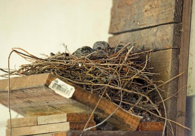 Mourning_dove_Baby_DSC_1255