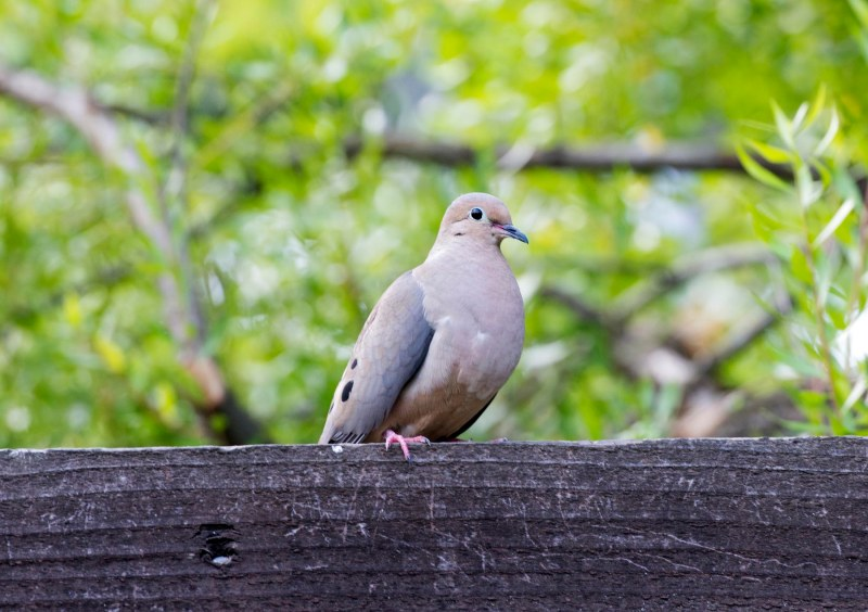 Mourning_Dove_Watchful_DSC_1973