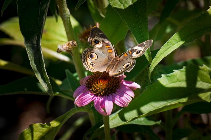 Bee-Butterfly_DSC_2948