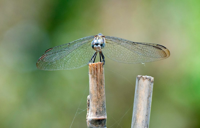Dragonfly_DSC_2465