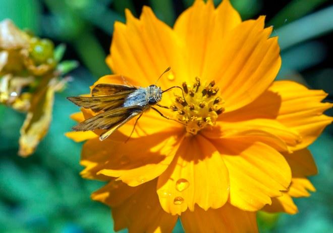 Fiery Skipper_Butterfly_DSC_2584