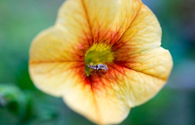 Flower_Pincher Bug_DSC_2390