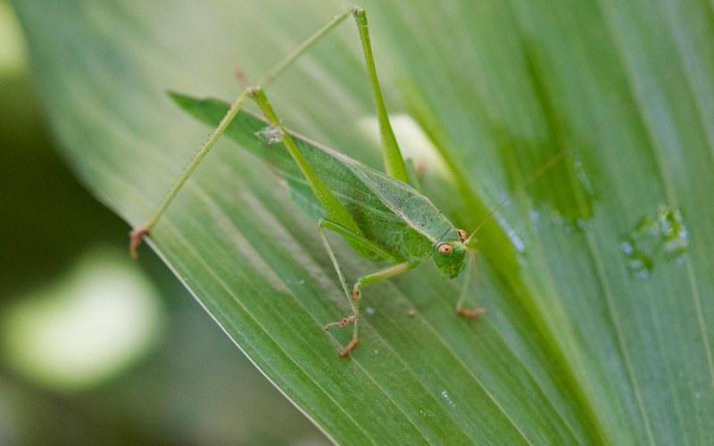 Grasshopper_DSC_2571