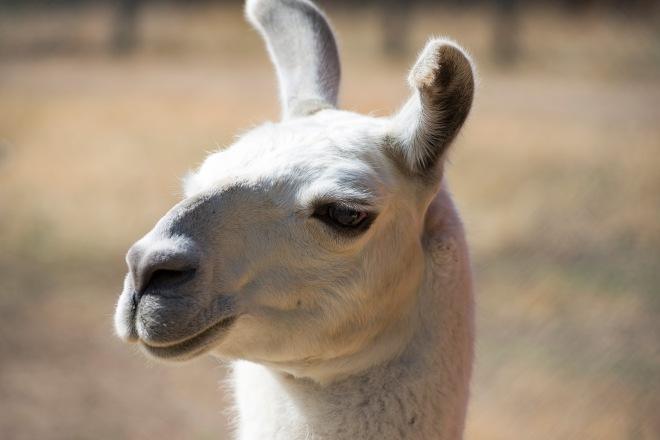 Llama_DSC_1773