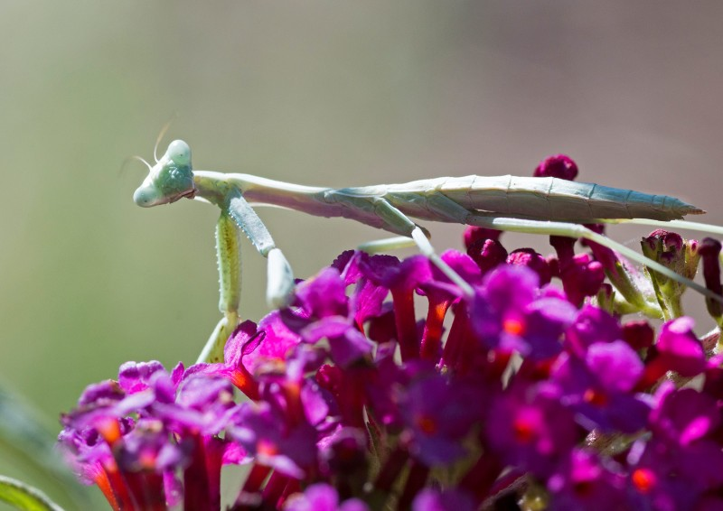 Praying-Mantis_ZM_DSC_3918