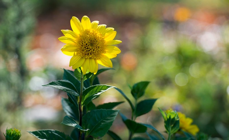 Sunflower_DSC_2847
