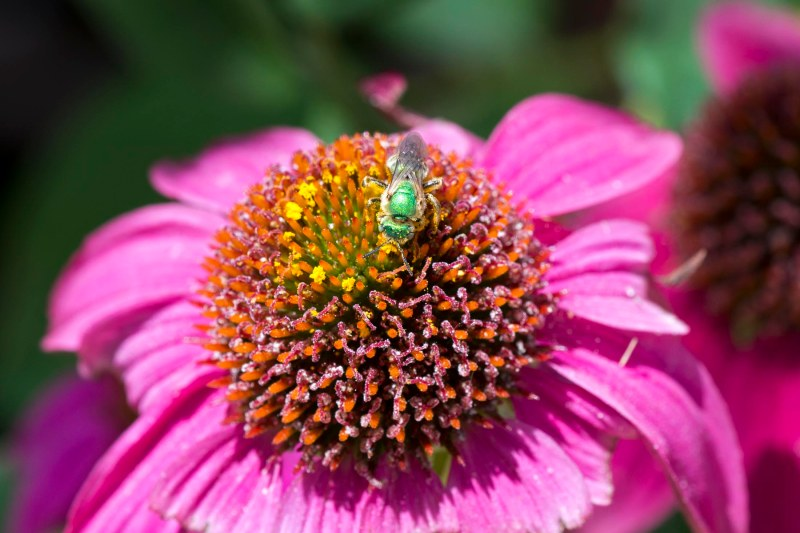 Sweat Bee_DSC_2533