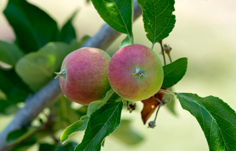 Apples_DSC_0558